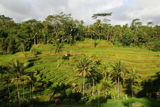 Bali - Pola ryżowe