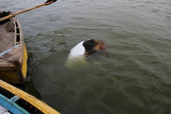 Martwa krowa w Waranasi
