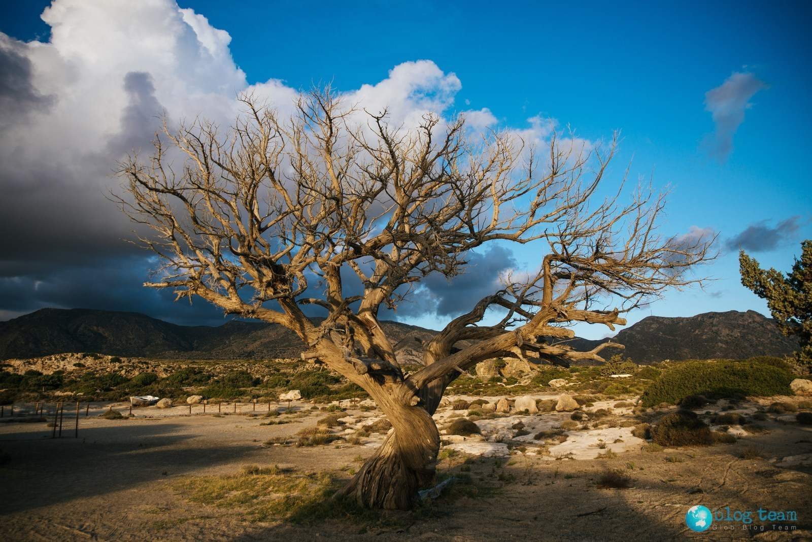 Stare drzewo na Elafonisi